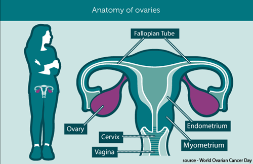 Anatomy of ovaries (source World Ovarian Cancer Day)